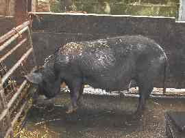 A Berkshire sow