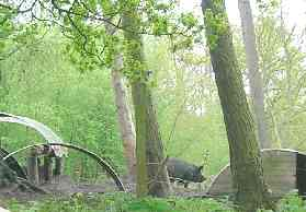 A Berkshire pig, in part of the Coombes alongside the farmyard