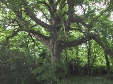The enormous horse chestnut tree hidden in the woods alongside 'Aberleigh'