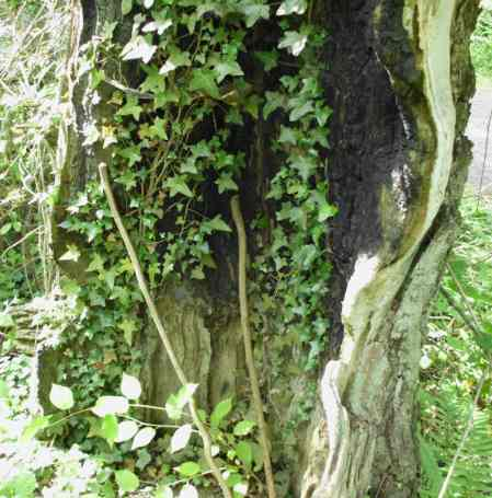 Ivy growing on the 'inside' of the trunk.