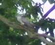 A cuckoo seen near Bearwood Lakes Golf Course, 18th May 2011.